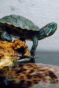 Черепахи в домашних условиях