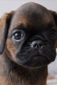 10 самых маленьких пород собак