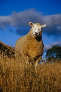Мужчина воспитал овце-собаку