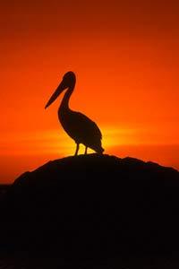 Сага о влюбленном пеликане