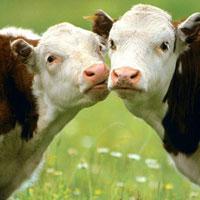 Коровы-мутанты производят человеческое молоко... Что дальше?