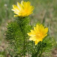 Фитотерапия: Адонис весенний, или Что нашла Афродита?