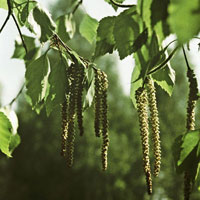 Рецепты народной медицины: О пользе березового сока, листвы, пыльцы