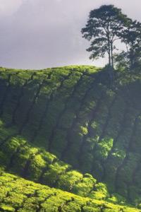 Чи знаєте ви, як створюється ексклюзивний чай?