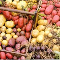 Картофель признан самым богатым источником витаминов