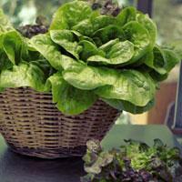 Польза сельдерея, листьев салата, петрушки и укропа
