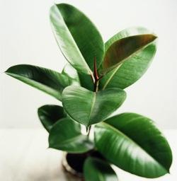 Комнатные растения: выращивайте на здоровье!