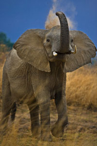 Маленькая пчела способна напугать слона