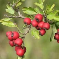 Осенние ягоды как средство от депрессии и авитаминоза