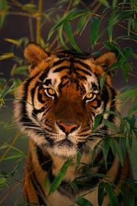 Женщина накормила тигра мужем