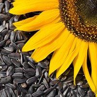 Семена подсолнуха: в чём польза и в чём их вред