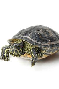 Черепаха-беглянка покусала шеф-повара