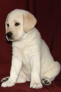 Американская пара заплатила 100 тыс. долларов за клонирование любимого пса