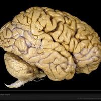 Женщины используют свой мозг эффективнее мужчин