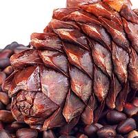 Кедровые орехи: полезные свойства и противопоказания