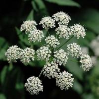 Сныть - растение от авитаминоза