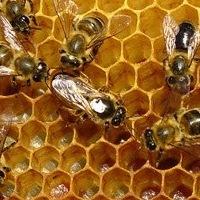 Что может «пчелиная смола»: полезные свойства прополиса