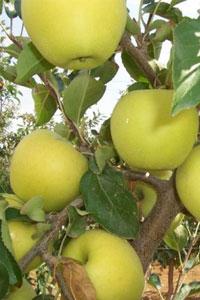Генетики сумели воспроизвести ДНК яблок