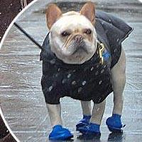 Хью Джекман выгуливает своего карликового бульдога в синих сапожках