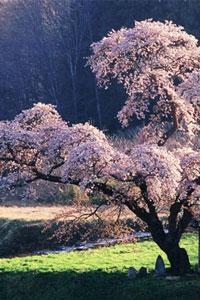 В Японии зацвела сакура (13 фото)