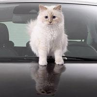 Кошка Карла Лагерфельда рекламирует автомобили (5 фото)