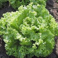 Нитраты из овощей приносят пользу