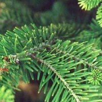 На елках иголки станут жить дольше