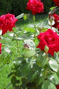 Цветочный рай: как правильно садить и ухаживать за розами