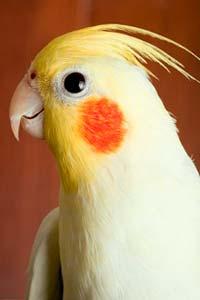 Домашний любимиц: попугаи Корелла
