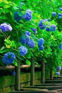 Как вырастить голубые гортензии