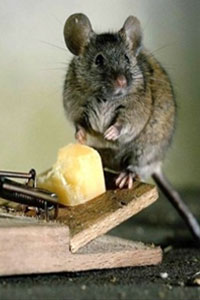 В доме завелись грызуны: боремся с вредителями