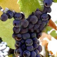 Польза виноградной косточки для вашего здоровья