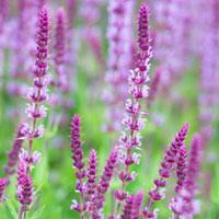 Шалфей - «cвященная трава»
